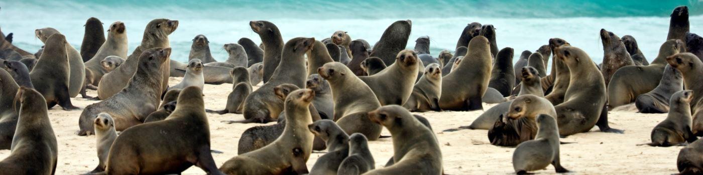 Getty seals along Skeleton Coast