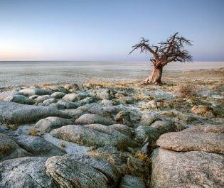 Getty baobab tree in Makgadikgadi Pans