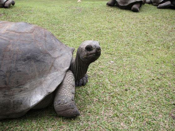 Tortoise in Seychelles