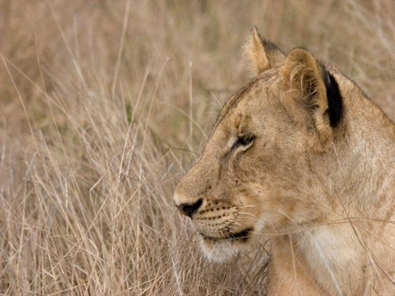 Lion, Selous Game Reserve