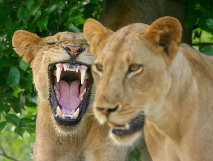 Jenn O'Neill lion in Tanzania