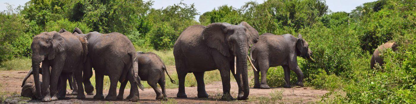 Mike Collins elephant in Queen Elizabeth NP