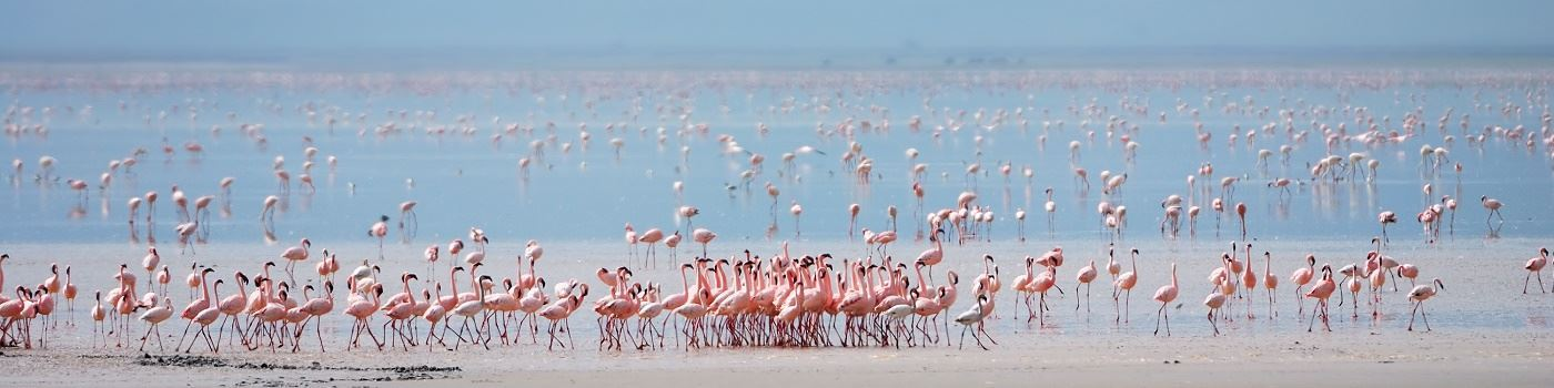 Lake Manyara flamingo