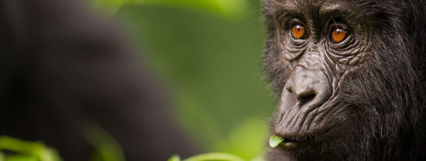 Getty gorilla in Bwindi