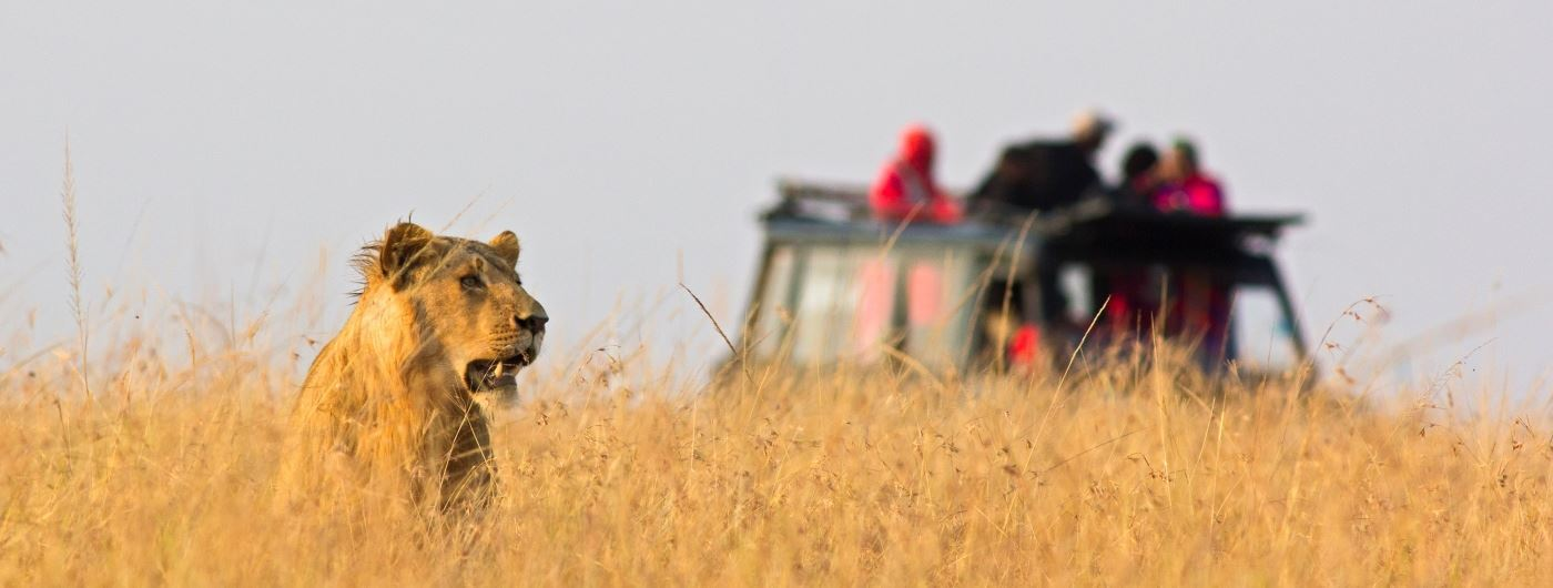 Getty lion on safari