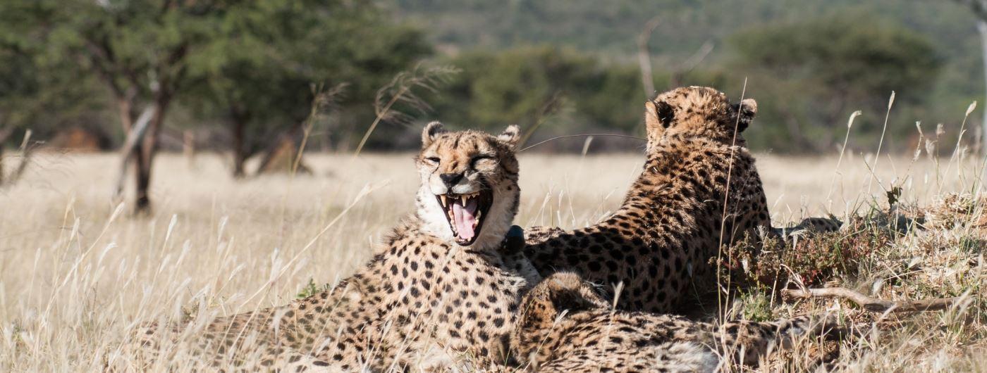 Cheetah in Okonjima Reserve