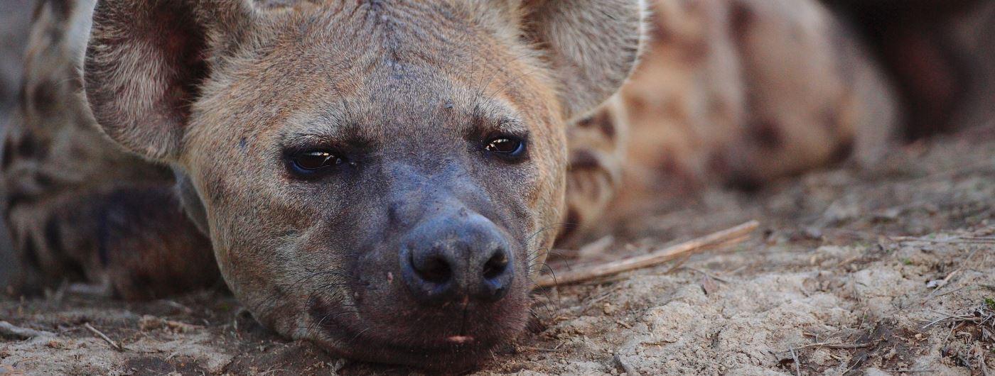 Hyena near Motswari Geiger's Camp