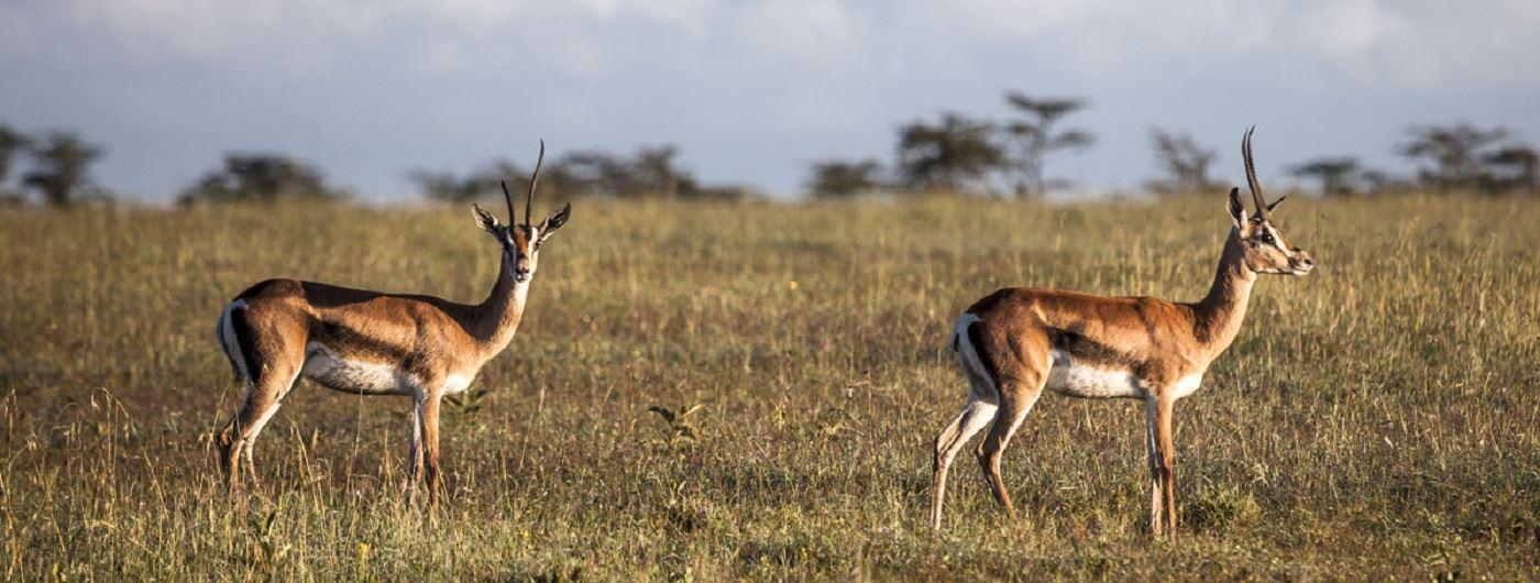 Porini Rhino Camp antelope