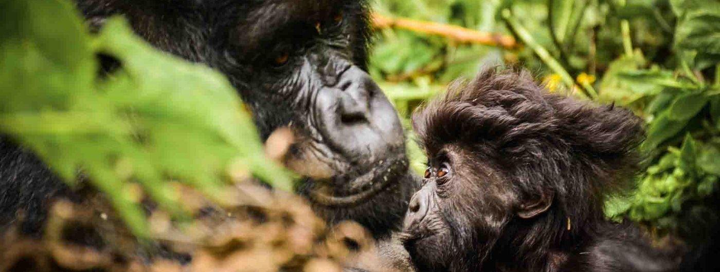 Alisa Bowen gorilla in Sabyinyo