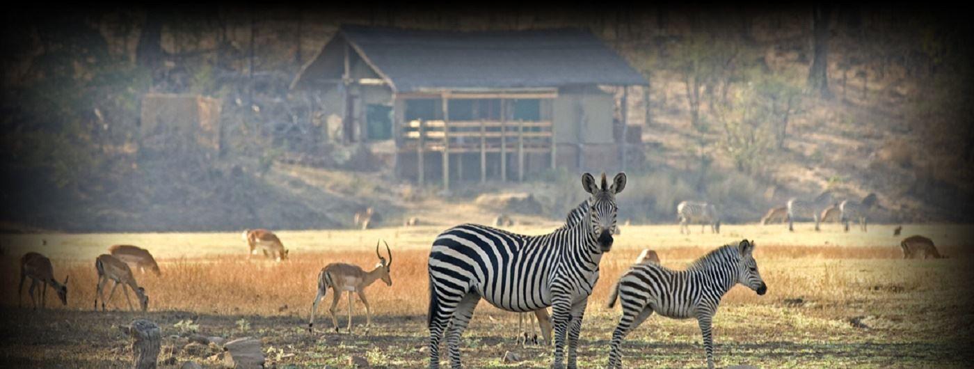 Camp zebra