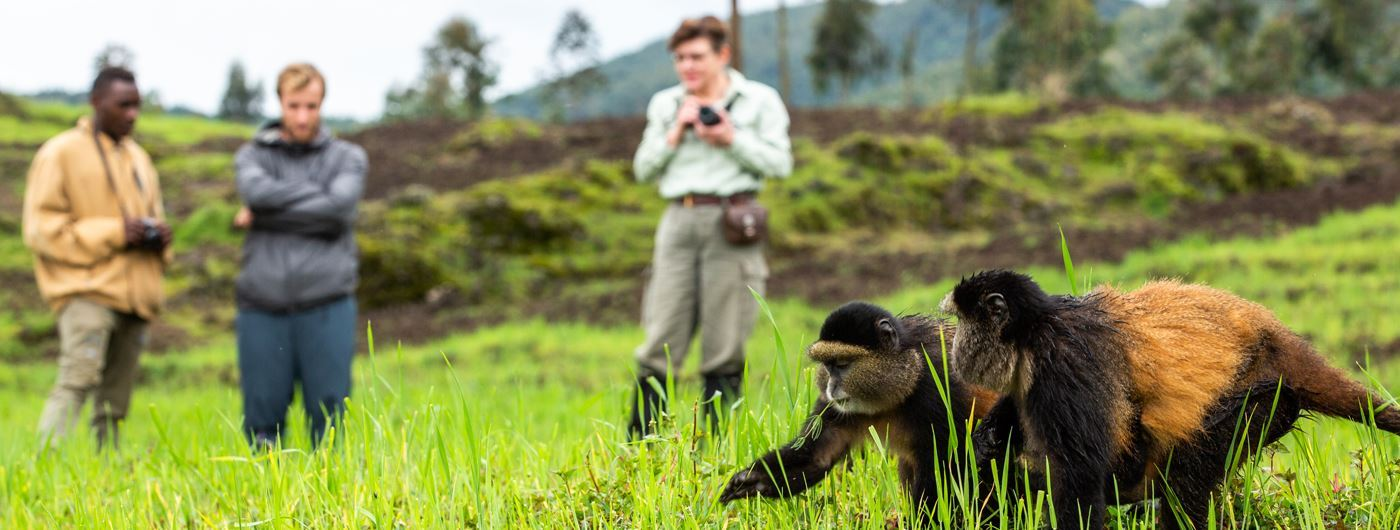 Encountering golden monkeys on a walking safari in Volcanoes National Park