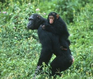 Chimpanzee family near Lake Victoria, Uganda