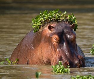 Getty hippo in Mana Pools NP