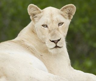 Timbavati Game Reserve - white lion