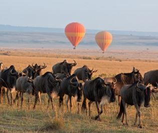 Wildebeest walking through the Masai Mara