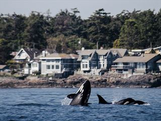 Orca swimming off Victoria's coast