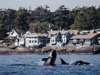 Orca swimming off Victoria's coast