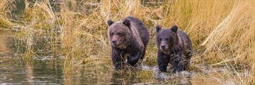 Bear Watching at The Chilko Experience Wilderness Resort