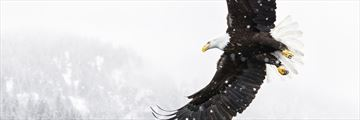 American eagle takes flight in Alaska