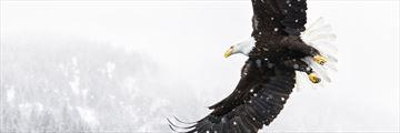American eagle takes flight in Alaska
