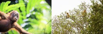 Baby Orangutan & Proboscis Monkeys, Borneo