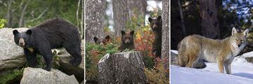 Wildlife Sightings in Whistler