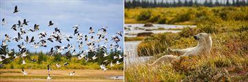 Birds and Polar Bears (Credit: Churchill Wild)