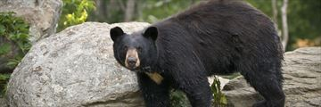 Black bears in Great Smoky Mountains, Tennessee