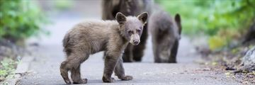 Black bears, Sequoia National Park