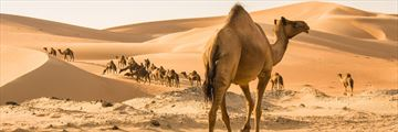 Camels in the Liwa Desert