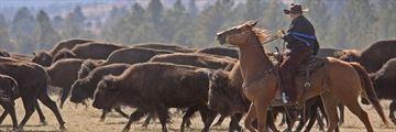 Buffalo Roundup, Utah