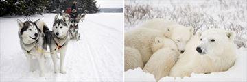 Dog Sledding & Polar Bear with cubs