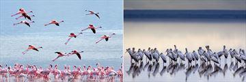 Flamingos and Yellow Billed Storks, Lake Manyara