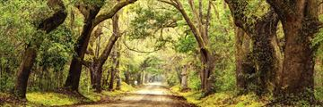 Giant oak trees in Charleston, South Carolina