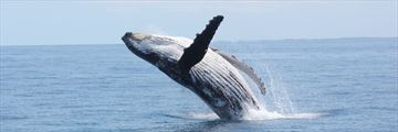 Humpback whale in Queensland