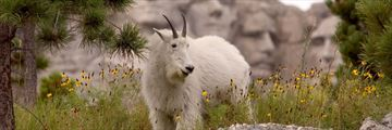 Mountain goat eating by Mount Rushmore