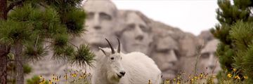 Mountain goat by Mount Rushmore