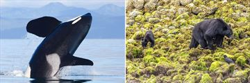 Sightings of Orcas & Bears in the Pacific Rim