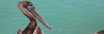 A pelican resting on Islamorada