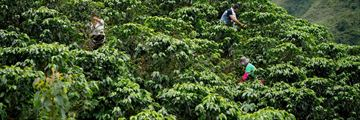 Picking coffee beans in Colombia