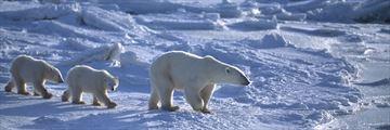 Arctic Polar Bear Family