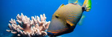 Trigger fish in the Great Barrier Reef