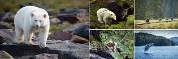 Sightings of the Spirit Bear & other wildlife at Spirit Bear Lodge