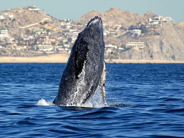 Humpback whale in the Sea of Cortez