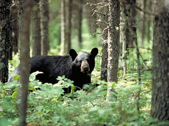 Grizzly bear, Ontario