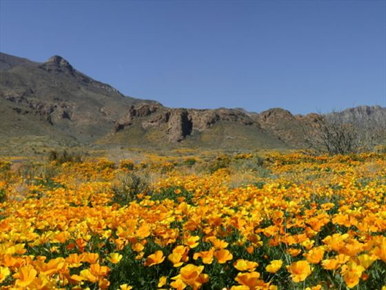 Poppies in Spring, El Paso