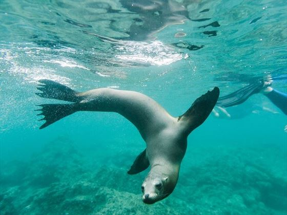 Galapagos Islands Underwater Seal