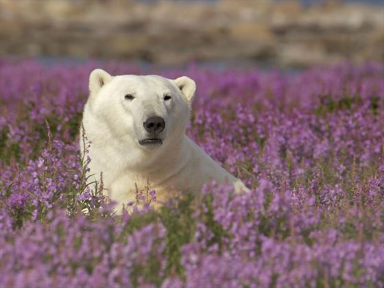 Polar bear in fireweed