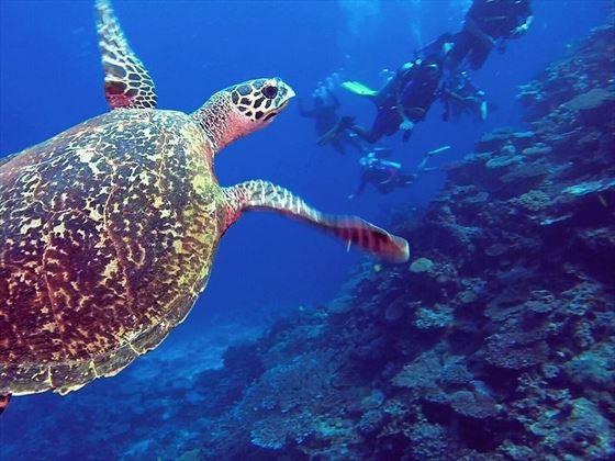 Qamea Resort Sea Turtle