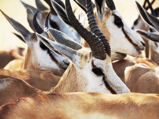 Antelope at Etosha National Park